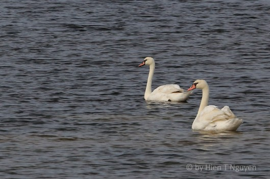 Mute Swans at Edwin B Forsythe Wildlife Refuge