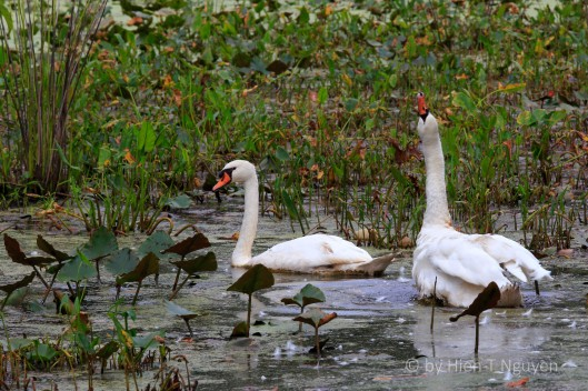 Swans at Abbott Marshlands