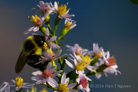 Salt marsh asters and bee