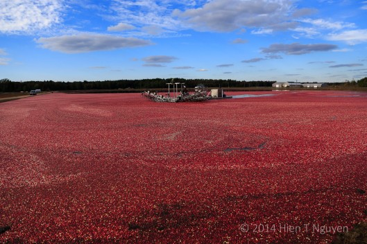 Cranberries floating