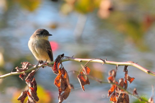 Eastern Phoebe at Spring Lake
