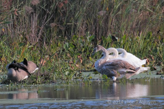 Cygnet with parents and sleeping Canada geese