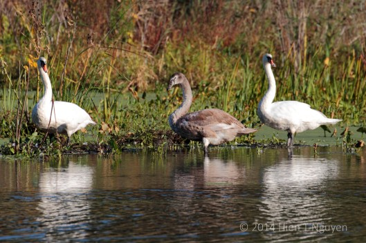 Cygnet and parent swans