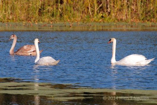 "Mother swan to father swan: ""Don't you think our daughter looks very pretty?"" Father swan responded: ""You betcha!"""