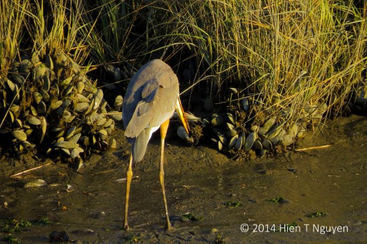 Tricolored heron with fish caught in bill