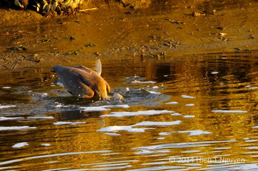 Tricolored heron diving after fish