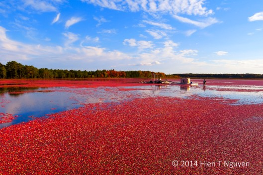 Cranberry harvest: a hard day's work