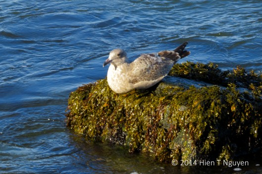 Great Black-Backed Gull resting