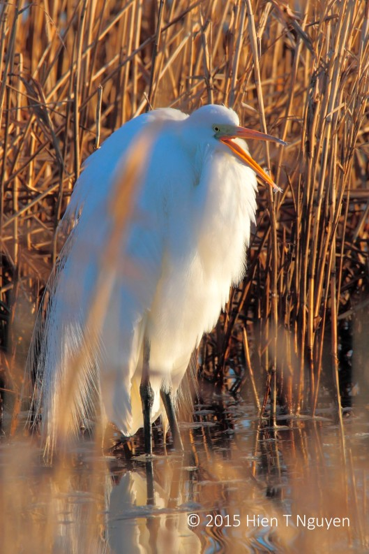 Great Egret: I see you!