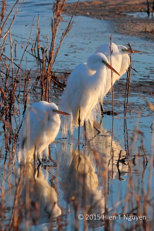 Great Egrets enjoying the sunrise.