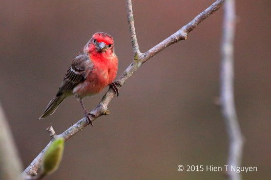 House Finch: What? Now you want me to turn to the other side?
