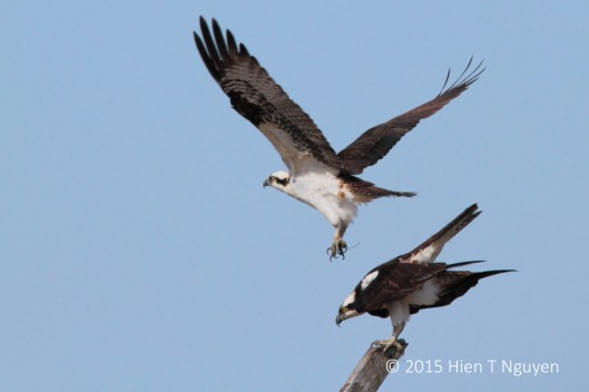 Ospreys.