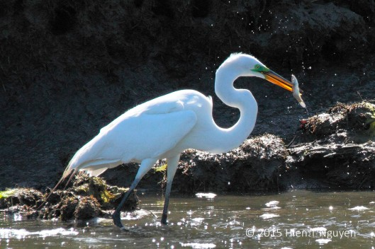 Great Egret with a successful jab at a fish. Note the green breeding color on its face.