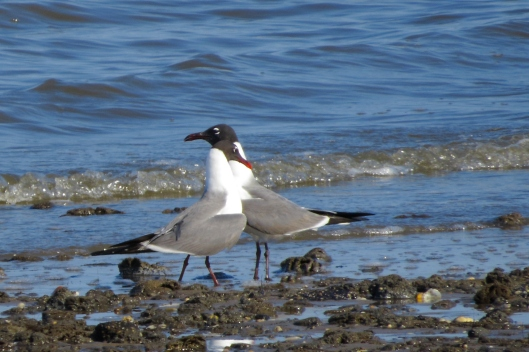 Laughing Gulls: she nuzzled against him.