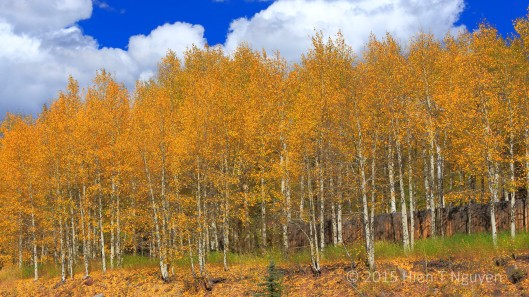 A grove of Aspens near Rico, CO.