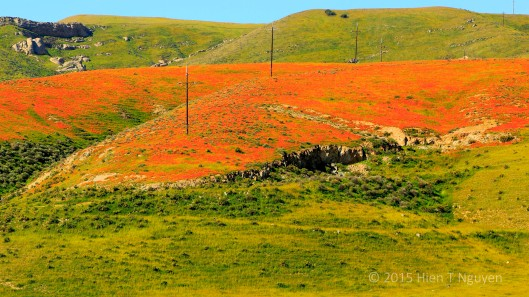 California Poppies on green hills along Highway 46 near Paso Robles, CA.
