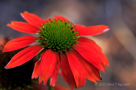 Orange Echinacea with green center at my house.
