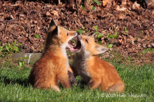 Young Red Foxes, May 2015.