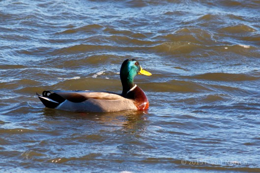 Male Mallard at John Heinz National Wildlife Refuge.