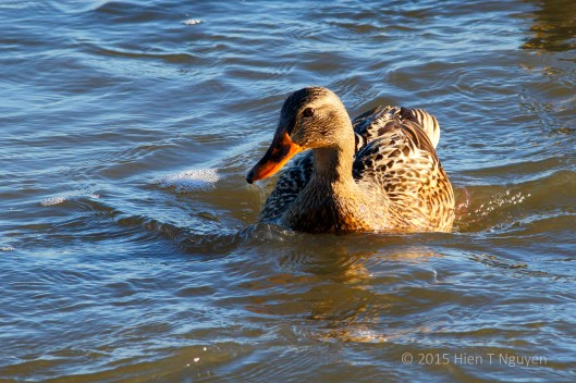Female Mallard at John Heinz National Wildlife Refuge.