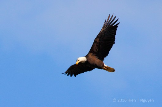 Bald Eagle at Conowingo Dam looking for fish.