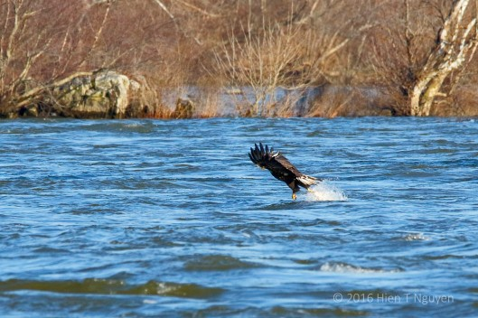 Bald Eagle catching fish. Note that it only used one talon to grab the fish.