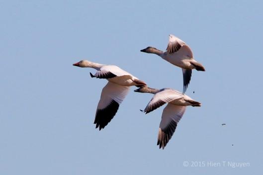 Three Snow Geese Overhead!