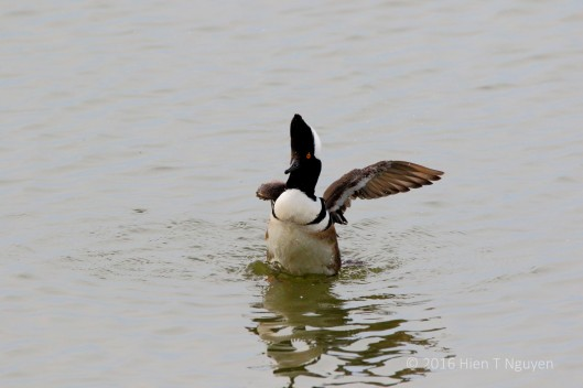 Male Hooded Merganser stretching.