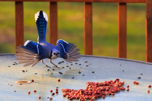 "Blue Jay:""Peanuts, here I come!"""
