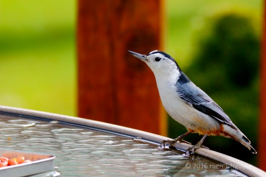 "Nuthatch: ""Don't know what I want!"""