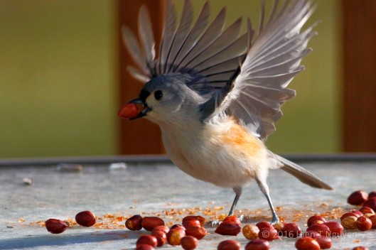 "Tufted Titmouse: ""Whoopee!"""