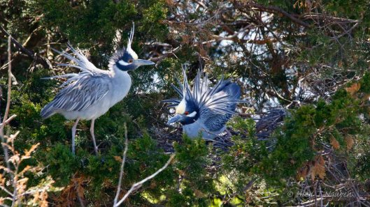 """Yellow-crowned Night Heron: """"We need more branches."""""""