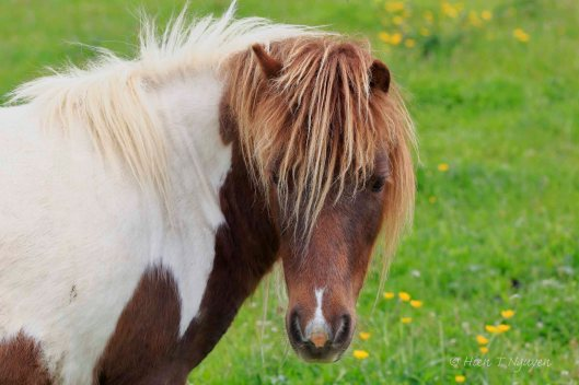 Miniature Pinto horse.