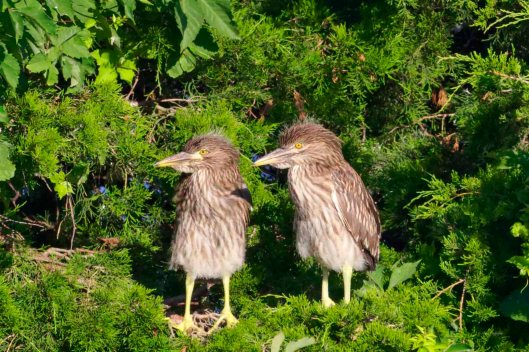 Young Yellow-crowned Night Herons.