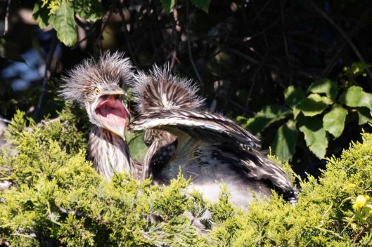 "Young Yellow-crowned Night Heron to opponent: ""You want to fight? Come on!"""