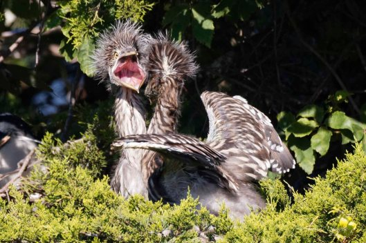 "Young Yellow-crowned Night Heron to opponent: ""Oh no! He is really going to get me!"""