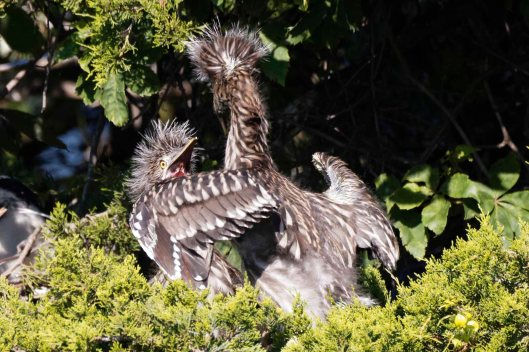"Young Yellow-crowned Night Heron: ""Help! He is going to kill me!"""