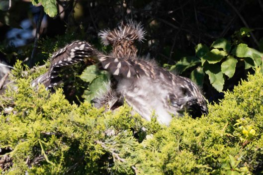 "Young Yellow-crowned Night Heron: ""Aaaargh!"""