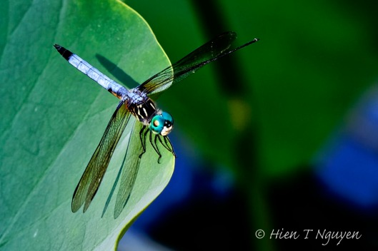 Blue Dasher.