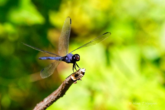 Dragonfly landing on a twig.