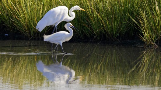 Great Egret and Snowy Egret.