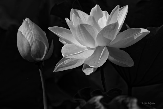 Lotus flowers in monochrome.