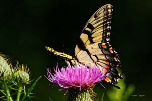 Eastern Tiger Swallowtail and Thistle flower.