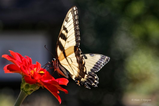 Eastern Tiger Swallowtail feasting on Zinnia flower.