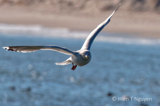 Ring-billed Gull flying near Barnegat Lighthouse.